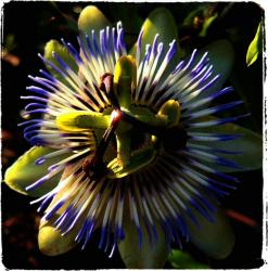 Passiflora flower photo.jpg