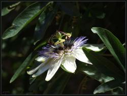 Picture of Blue passion flower.jpg