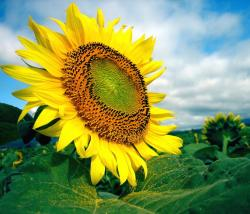 beautiful big sunflower.jpg
