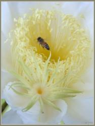 Pitaya flower with bee.jpg