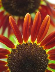 beautiful orange sunflower.jpg