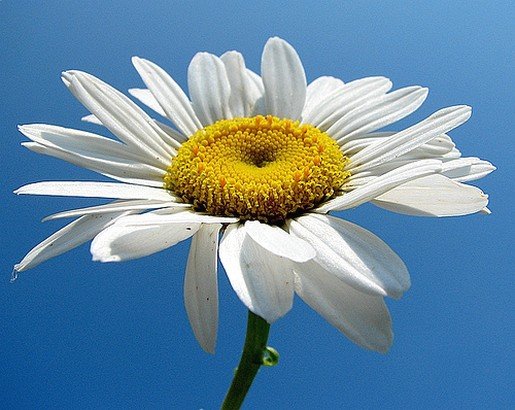picture of white daisy flower  comment, Natural flower