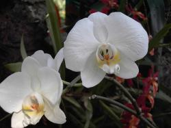 white Phalaenopsis Orchids photo.jpg