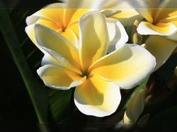 yellow and white Plumeria Celadine flower pic.jpg