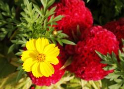 bright yellow annual flower picture.jpg