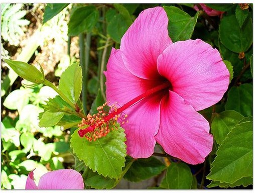 Annual flower of Hibiscus in pink.jpg
