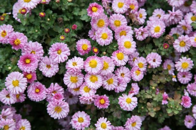Beautiful Type Of Annual Flowers In Pink With Yellow Center