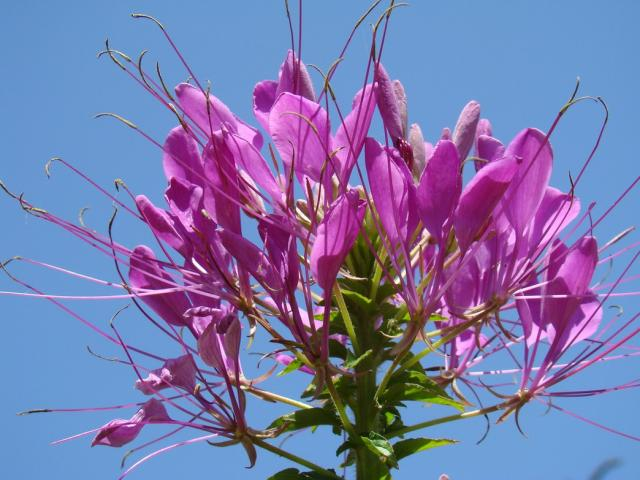 Big annual flowers in light purple.jpg