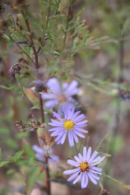 Blue Aster is a annual flower for south.jpg