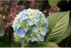 Blue Hudrangea annual flower.jpg