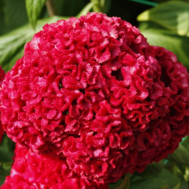 Bright red Celosia flower picture.jpg