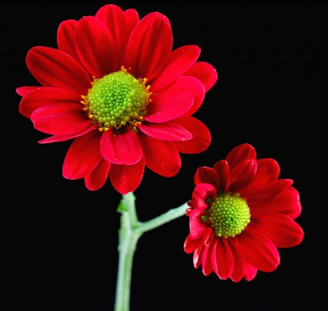 Red Daisy Flowers With Green Center Jpg