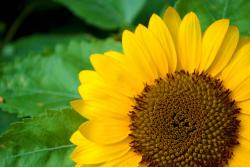bright sun flowers_yellow annual flowers.jpg