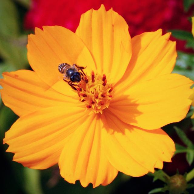 bright yellow annual flower photojpg
