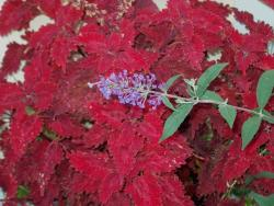 coleus butterfly bu annual in bright red.jpg