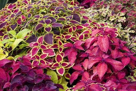 Marvelous Coleus Garden Annual Flowers