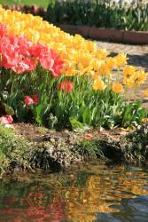 Colorful tulips annual flowers image.jpg