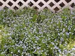 Forget Me Not annual garden flowers picture.jpg