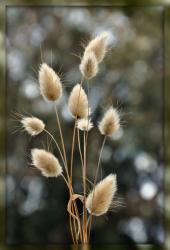 Hare's Tail Grass.jpg