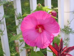 hot pink annual flower Hibiscus under the strong sun.jpg