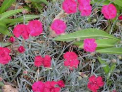 hot pink annual flowers Dianthus Cheddar.jpg