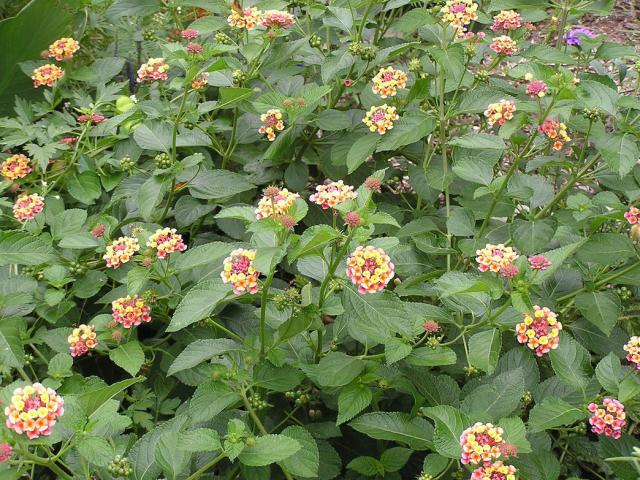 if you thinking of growing annual flowers maybe lantana flower is something for you.jpg