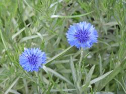 Image of blue annual flowers Bachelor Button.jpg