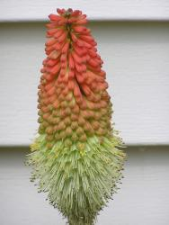 Image of Red Hot Poker_unique annual flower.jpg