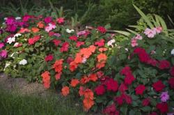 Impatiens flowers in different colors_pretty annaul flowers.jpg