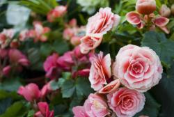 light pink roses flowers picture.jpg