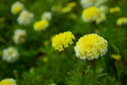 light yellow annaul flowers pics.jpg