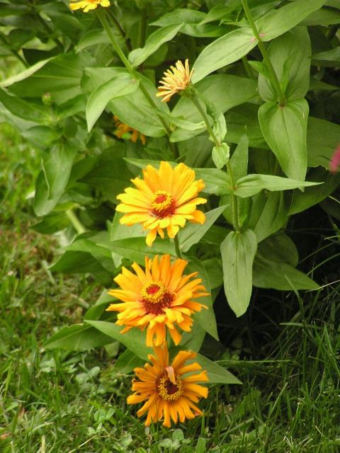 line up orange zinnias flowers_very pretty annual flowers in your garden.jpg