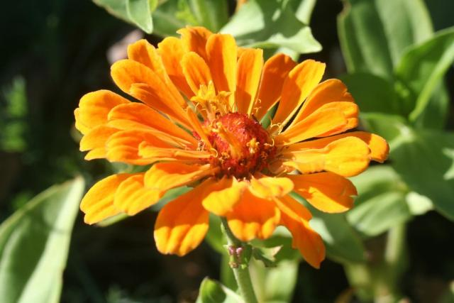 orange annual flowerscommon annual flower hires p hd, Beautiful flower