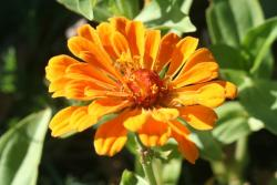 orange annual flowers_common annual flower.jpg