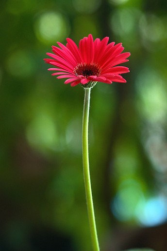 daisy flower photo, Natural flower