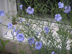 Pictures of Blue Flax annual flowers in blue purple color.jpg