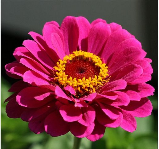 Pink summer annual flower Zinnia photo.jpg