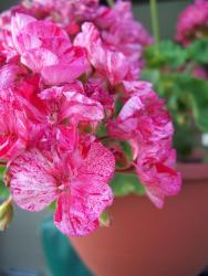 pretty pink annual flowers photo.jpg