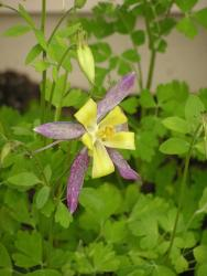 purple and yellow annual flower Columbine picture.jpg