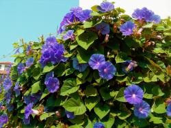 purple blue annual flowers morning glory.jpg