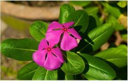 Purple periwinkle annual flower pic.jpg