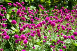 purple pink annual flowers picture.jpg