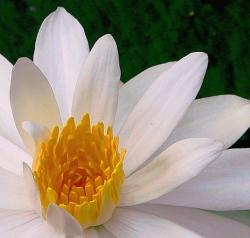 White Water Lily.jpg