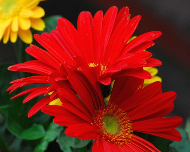Red And Yellow Daisy Flowers