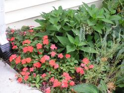 red annual impatiens flowers picture.jpg