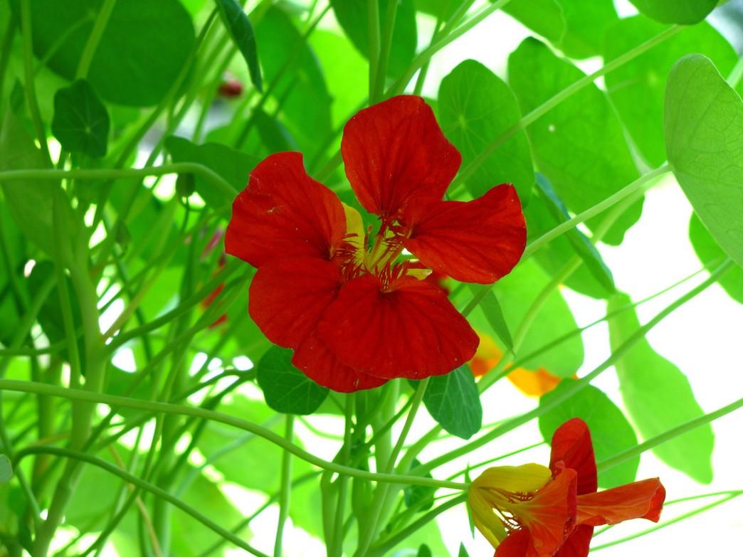 red nasturtium flowers photos Hi Res 720p HD