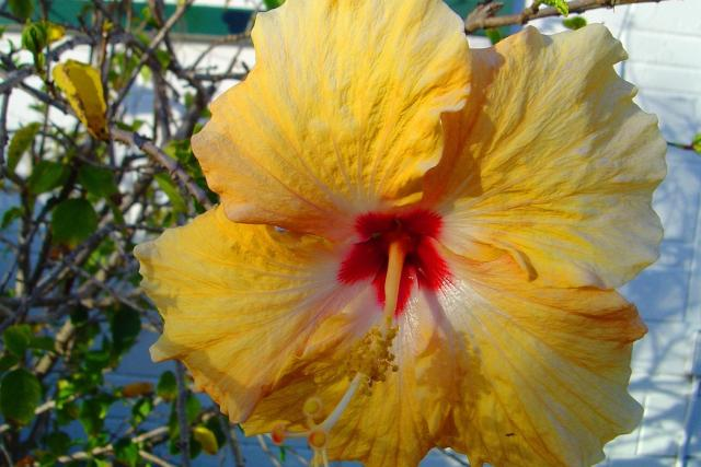 summer annual flowers Hibiscus in yellow with red center.jpg