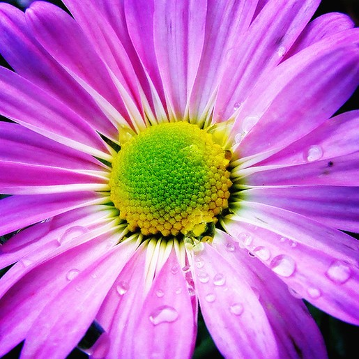 purple white daisy with yellow green eye.jpg