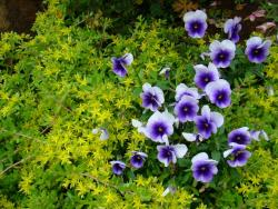 these beautiful white and purple flowers should be added to your list of annual flowers.jpg