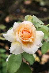 top annual flower Hybrid Tea Rose picture.jpg